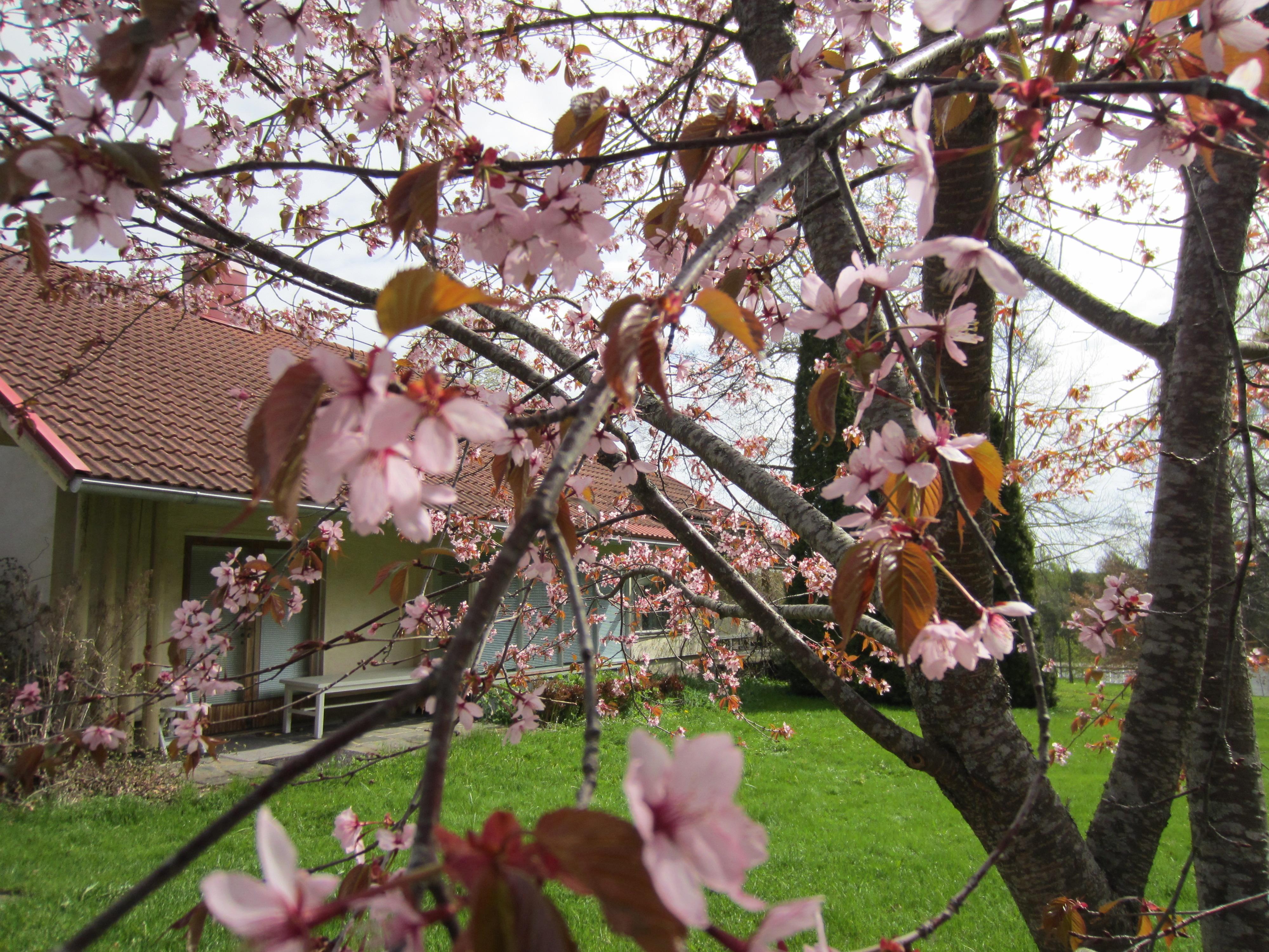 Rusokirsikka kukkii Piikkiössä toukokuussa. Kuva: Terhi Pohjanheimo