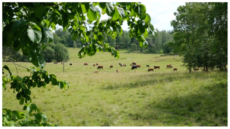 Niityillä, joen varrella ja metsässä laiduntavat lehmät vasikoineen ovat tilan tärkeimpiä ympäristönhoitajia.