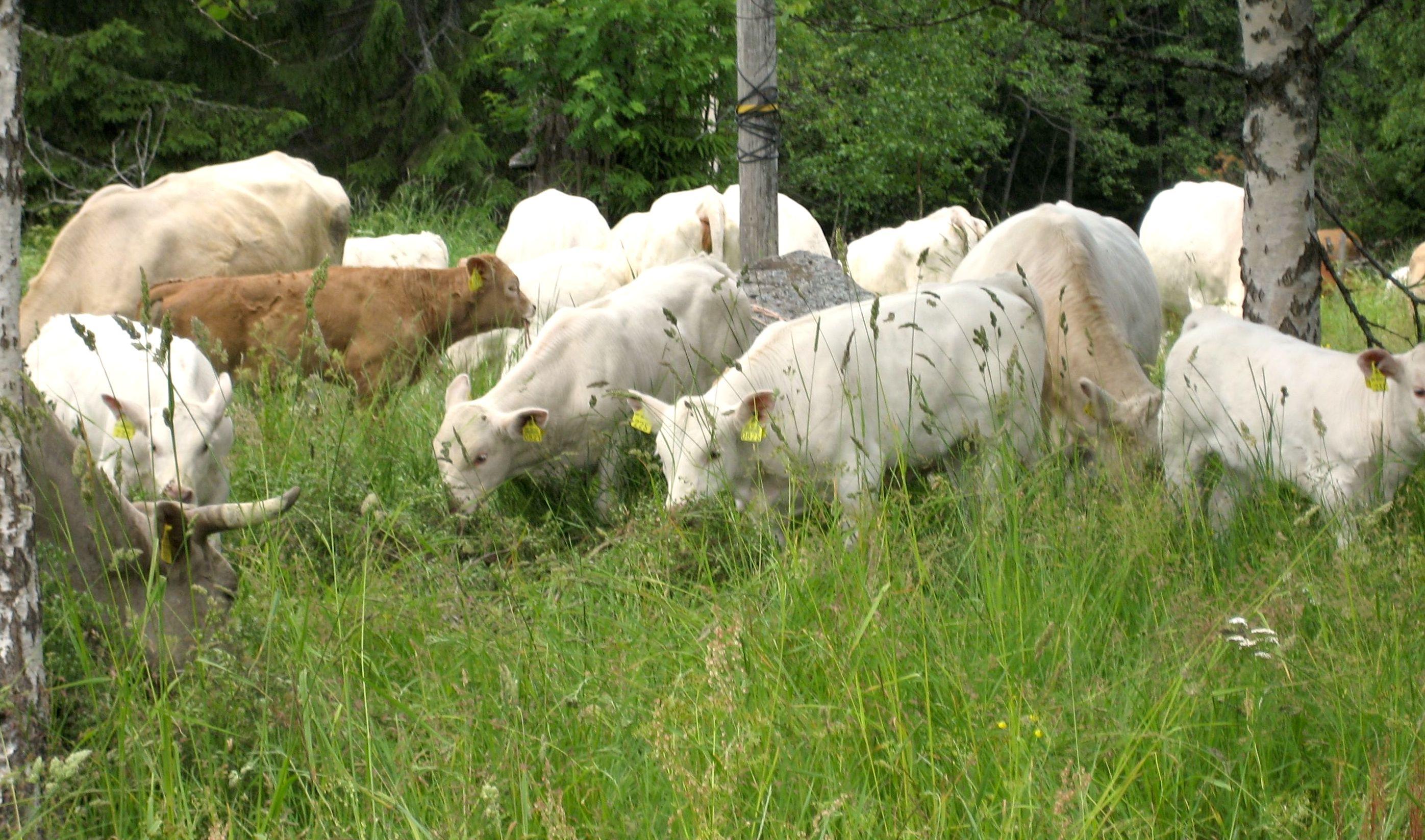 Miten paikallinen lihantuotanto vaikuttaa ekologiseen kestävyyteen? Argumenttipankista löytyy siihenkin vastaus.