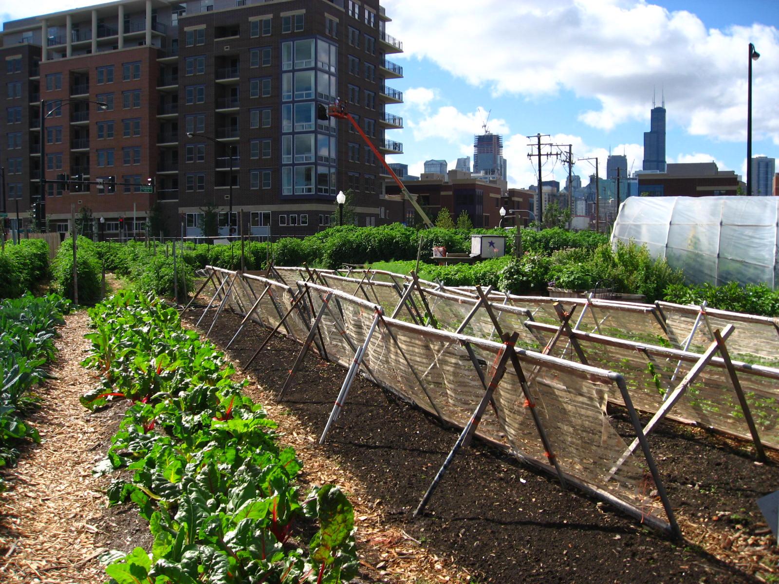 Kaupunkiviljelyä Chicagossa. Kuva: Wikimedia Commons