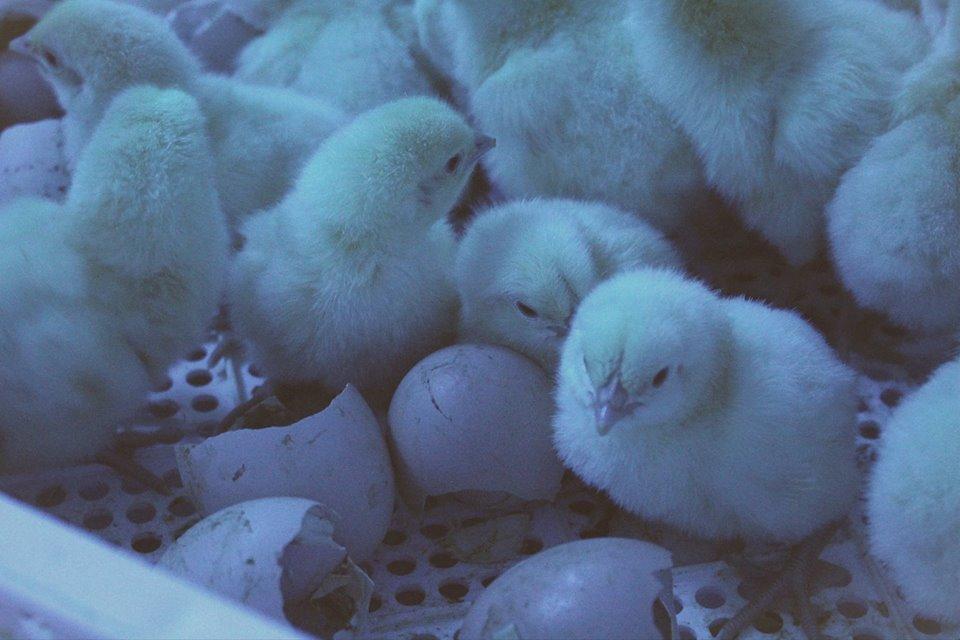 Tavallisessa kanalassa juuri kuoriutuneet poikaset pannan liukuhihnoille, joilla ne saattavat kompuroida ja kaatuilla, mutta Maalaiskanan hautomossa tiput tarkastetaan käsin ja yksilöllisesti. Kuva: Huttulan Kukko