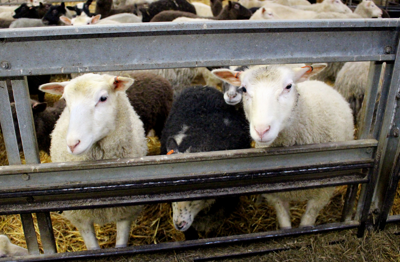Rintalan tilalla kasvatetaan suomenlampaita niiden monikäyttöisyyden vuoksi: lampaan liha on maukasta, villa ja talja korkealaatuisia. (kuva: Anssi Ketonen, haloomaaseutu.fi)
